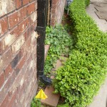 Showing downspout and ivy
