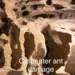 carpenter_ant2