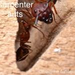 carpenter_ant3