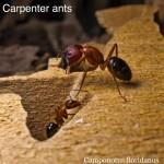 carpenter_ant4
