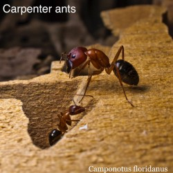 carpenter_ant4