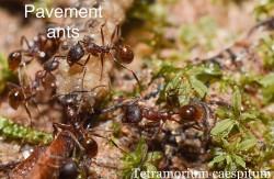 pavment_ants