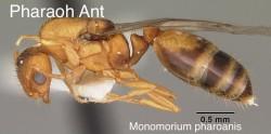 pharaoh_ant2