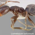 pine_tree_ant