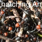 thatching_ants