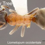 velvety_tree_ant