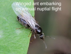 winged_ant