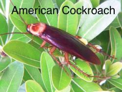amercian-cockroach