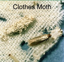 clothes_moth